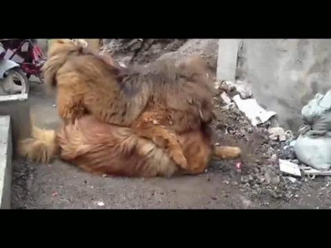 藏獒和狮子打架 鬼藏獒咬死狮子图片 藏獒被狮子咬死图片 高清图片