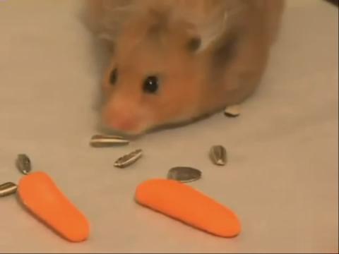 视频: 超萌可爱小仓鼠沿着食物吃,大胃王;   食物储存仓鼠 小东西