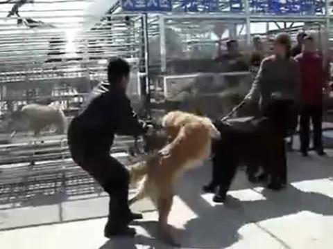 藏獒打架视频 高加索犬藏獒pk打架视频