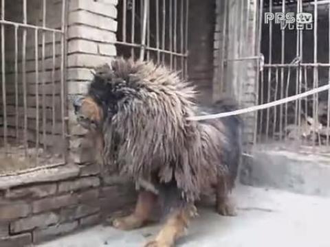 藏獒雪豹(藏獒沙龙网)
