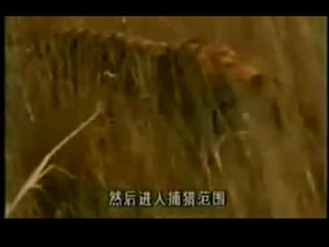 藏獒vs狮子图片下载 藏獒打架视频咬死狮子 藏獒vs斑鬣狗 谁高清图片