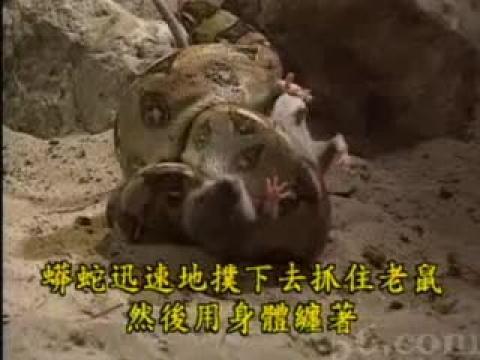 奇妙的动物世界:蟒蛇的猎食