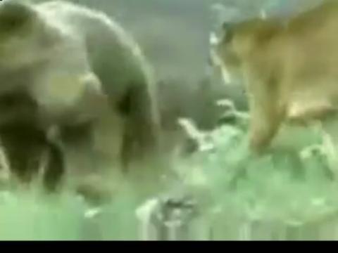 老虎pk藏獒图片下载 藏獒打架视频咬死老虎 藏獒与狮子老高清图片